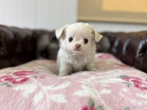 チワワ(ロング)の子犬(ID:1248411041)の2枚目の写真/更新日:2021-08-24