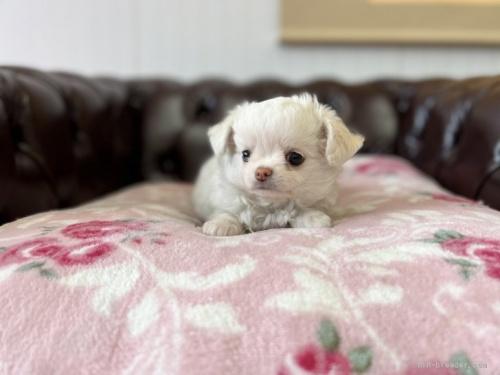 チワワ(ロング)の子犬(ID:1248411041)の3枚目の写真/更新日:2021-08-24
