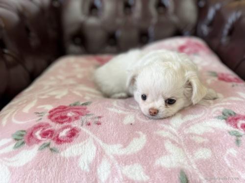 チワワ(ロング)の子犬(ID:1248411041)の4枚目の写真/更新日:2021-08-24