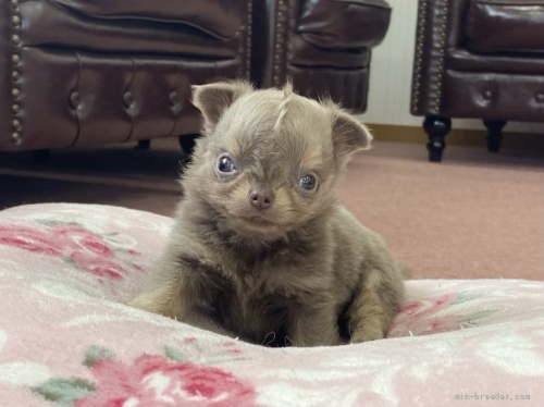 チワワ(ロング)の子犬(ID:1248411042)の1枚目の写真/更新日:2018-06-29