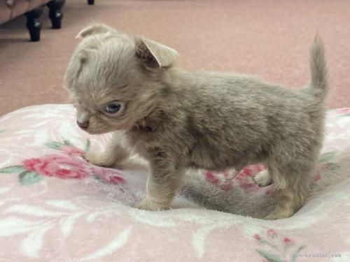 チワワ(ロング)の子犬(ID:1248411042)の2枚目の写真/更新日:2020-05-03