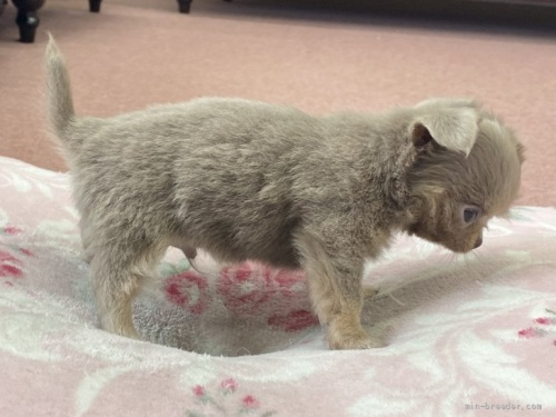 チワワ(ロング)の子犬(ID:1248411042)の3枚目の写真/更新日:2020-05-03
