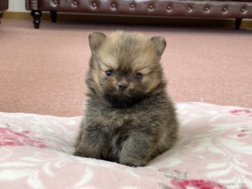 ポメラニアンの子犬(ID:1248411045)の1枚目の写真/更新日:2020-07-06