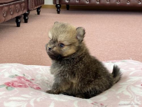チワワ(ロング)の子犬(ID:1248411045)の2枚目の写真/更新日:2018-08-06