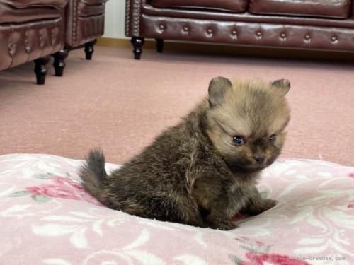 チワワ(ロング)の子犬(ID:1248411045)の3枚目の写真/更新日:2018-08-06