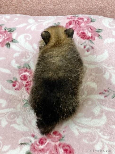 ポメラニアンの子犬(ID:1248411045)の4枚目の写真/更新日:2021-08-12