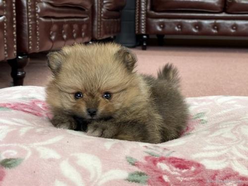 ポメラニアンの子犬(ID:1248411046)の1枚目の写真/更新日:2019-11-18