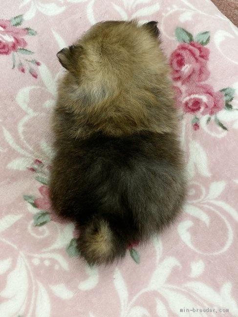 ポメラニアンの子犬(ID:1248411046)の4枚目の写真/更新日:2021-04-09