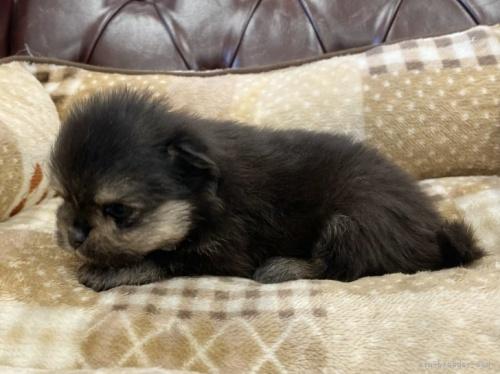 ポメラニアンの子犬(ID:1248411047)の2枚目の写真/更新日:2019-11-18
