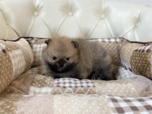 ポメラニアンの子犬(ID:1248411048)の2枚目の写真/更新日:2020-07-07
