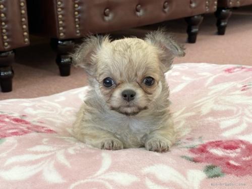 チワワ(ロング)の子犬(ID:1248411049)の1枚目の写真/更新日:2017-01-31