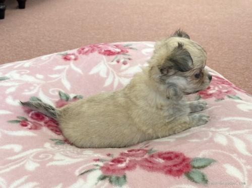 チワワ(ロング)の子犬(ID:1248411049)の3枚目の写真/更新日:2017-01-31