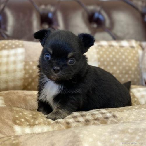 チワワ(ロング)の子犬(ID:1248411052)の1枚目の写真/更新日:2018-06-06