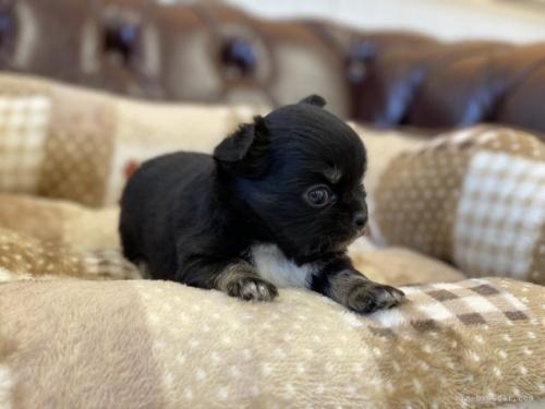 チワワ(ロング)の子犬(ID:1248411052)の3枚目の写真/更新日:2018-06-06