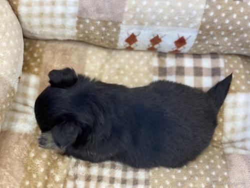 チワワ(ロング)の子犬(ID:1248411052)の4枚目の写真/更新日:2021-04-02