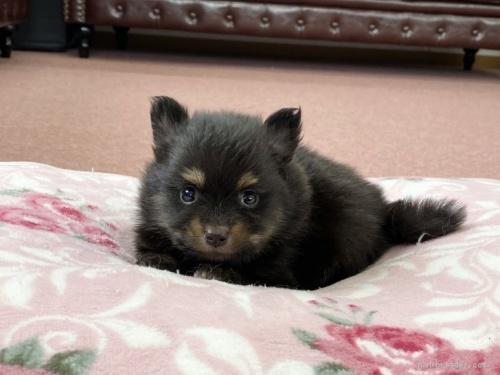ポメラニアンの子犬(ID:1248411053)の1枚目の写真/更新日:2017-02-03