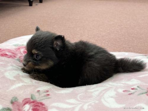 ポメラニアンの子犬(ID:1248411053)の2枚目の写真/更新日:2017-02-03