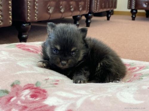 ポメラニアンの子犬(ID:1248411054)の1枚目の写真/更新日:2020-06-16