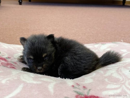 ポメラニアンの子犬(ID:1248411054)の2枚目の写真/更新日:2017-02-03