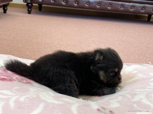 ポメラニアンの子犬(ID:1248411054)の3枚目の写真/更新日:2020-06-02