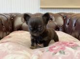 チワワ(ロング)の子犬(ID:1248411056)の2枚目の写真/更新日:2017-02-03