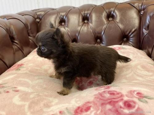 チワワ(ロング)の子犬(ID:1248411056)の3枚目の写真/更新日:2018-06-06