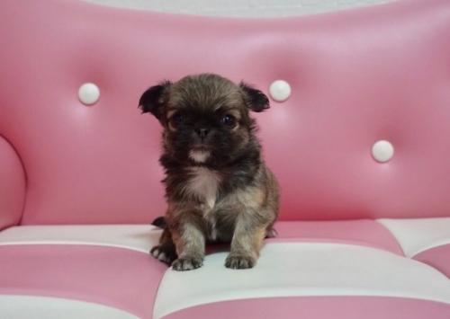 チワワ(ロング)の子犬(ID:1248411058)の1枚目の写真/更新日:2017-02-03
