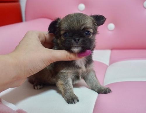 チワワ(ロング)の子犬(ID:1248411058)の2枚目の写真/更新日:2017-02-03