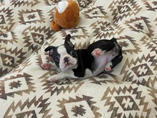 ボストンテリアの子犬(ID:1248411059)の2枚目の写真/更新日:2018-08-06