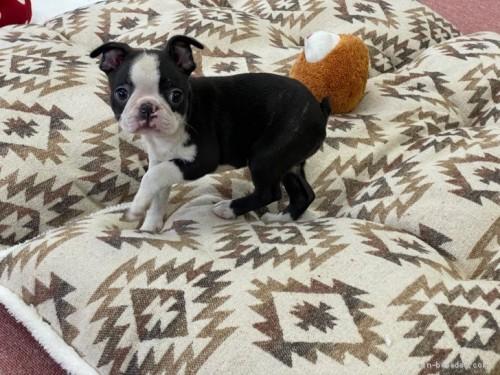 ボストンテリアの子犬(ID:1248411059)の3枚目の写真/更新日:2018-08-06