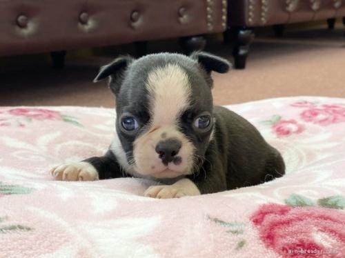 ボストンテリアの子犬(ID:1248411060)の1枚目の写真/更新日:2020-08-03