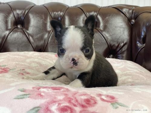 ボストンテリアの子犬(ID:1248411061)の1枚目の写真/更新日:2017-02-21