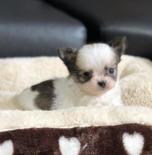 チワワ(ロング)の子犬(ID:1248411062)の1枚目の写真/更新日:2018-07-27
