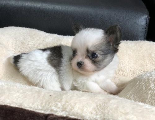 チワワ(ロング)の子犬(ID:1248411062)の3枚目の写真/更新日:2018-07-27