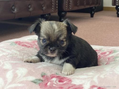 チワワ(ロング)の子犬(ID:1248411063)の1枚目の写真/更新日:2017-02-21