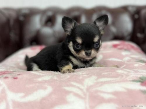 チワワ(ロング)の子犬(ID:1248411064)の2枚目の写真/更新日:2018-06-06