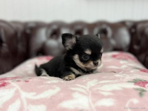 チワワ(ロング)の子犬(ID:1248411064)の3枚目の写真/更新日:2018-06-06