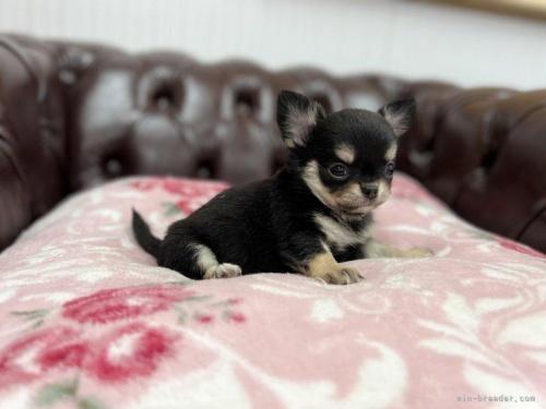 チワワ(ロング)の子犬(ID:1248411064)の4枚目の写真/更新日:2018-06-06