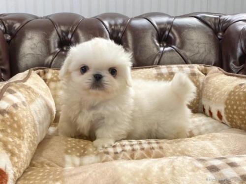 ペキニーズの子犬(ID:1248411065)の2枚目の写真/更新日:2017-04-10