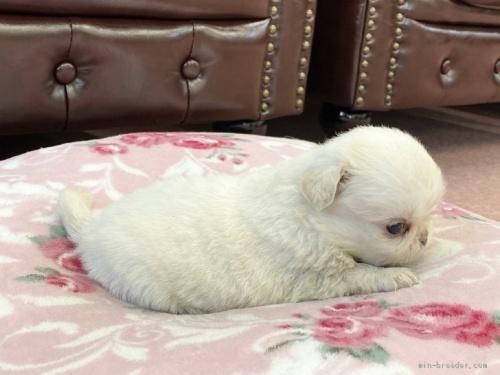 ミックスの子犬(ID:1248411066)の3枚目の写真/更新日:2018-05-28