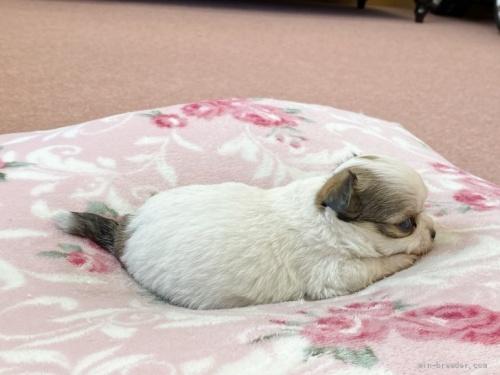 チワワ(ロング)の子犬(ID:1248411067)の3枚目の写真/更新日:2018-07-16