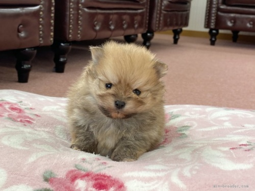 ポメラニアンの子犬(ID:1248411068)の1枚目の写真/更新日:2017-06-19