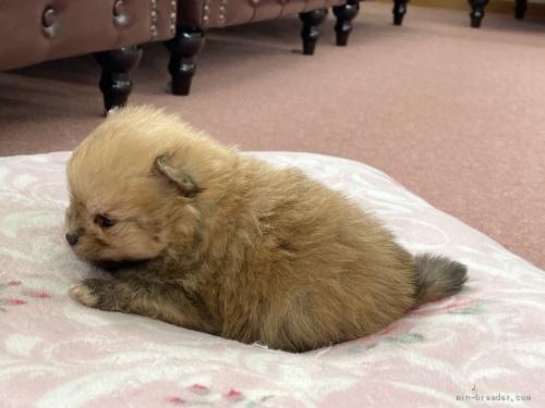ポメラニアンの子犬(ID:1248411068)の3枚目の写真/更新日:2020-06-16