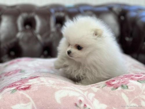 ポメラニアンの子犬(ID:1248411069)の2枚目の写真/更新日:2019-09-17