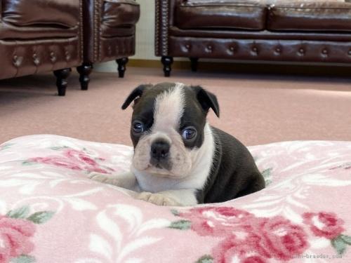 ボストンテリアの子犬(ID:1248411072)の1枚目の写真/更新日:2020-09-22