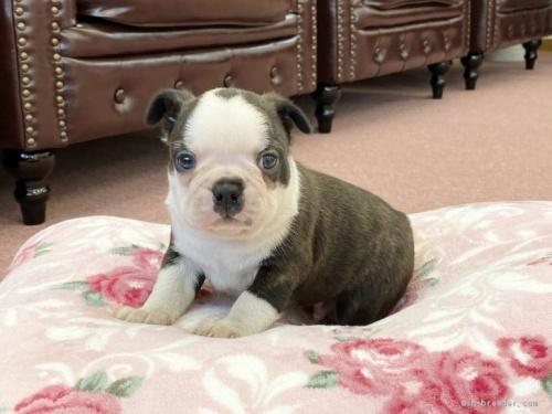 ボストンテリアの子犬(ID:1248411073)の1枚目の写真/更新日:2020-09-22