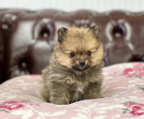 ポメラニアンの子犬(ID:1248411076)の1枚目の写真/更新日:2018-06-03