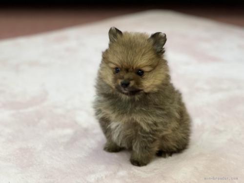 ポメラニアンの子犬(ID:1248411076)の2枚目の写真/更新日:2018-06-03