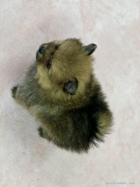 ポメラニアンの子犬(ID:1248411076)の4枚目の写真/更新日:2018-06-03