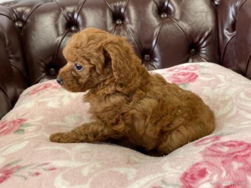 トイプードルの子犬(ID:1248411078)の2枚目の写真/更新日:2018-05-28